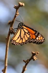 Monarchvlinder-11-04-2005-Arikok-IMG_5842