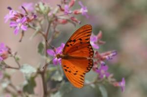 Oranje-parelmoervlinder-15-10-2006-Oranjestad-2517