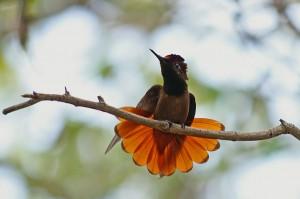 Rode-kolibrie-08-04-2006-Balashi-JK0221
